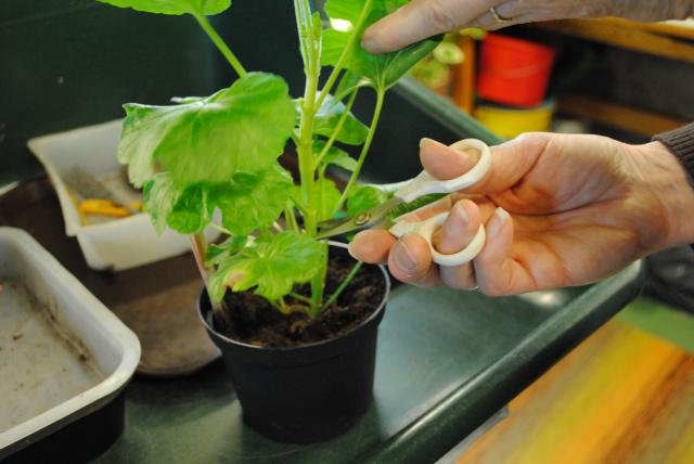 TRÄDGÅRDSLIV. Kliar det i dina gröna fingrar? Börja trädgårdssäsongen med att göra fler plantor av pelargonerna.