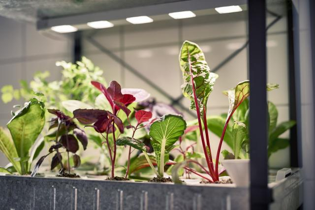 ÅRET RUNT. Odla färska grönsaker inomhus i ditt hem med nygamla tekniken hydroponik.
