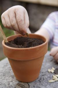 GLASBURK ISTÄLLET? Odla dem i genomskinlig kruka om du vill se nya nötternas utveckling under jord.
