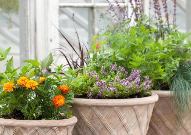 KRYDDVÄXTER. Skapa din kryddgård i balkonglådan, krukan eller i rabatten när frosten är över. Foto Blosterfrämjandet