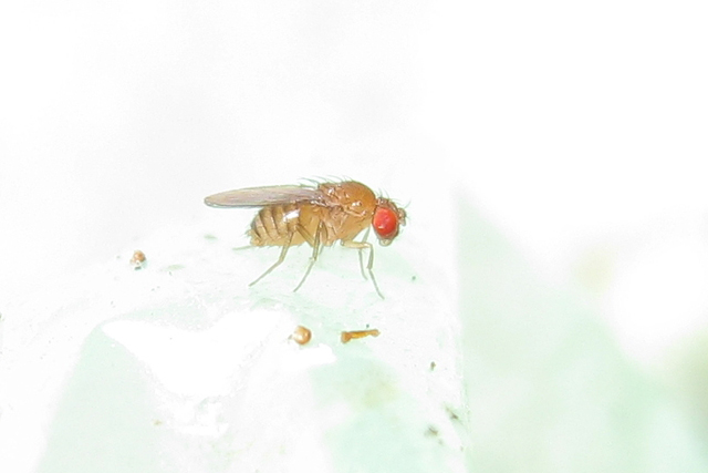 FRUKTFLUGOR.Nu är det högsäsong för de envisa bananflugorna. Men det finns knep att bli av med dem. Foto John Tann.